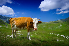 Cow resting on green grass Royalty Free Stock Images