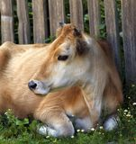 Cow resting on green grass near wooden fence. Rural landscape Stock Photos