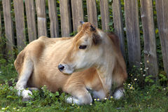 Cow resting on green grass near wooden fence. Rural landscape Royalty Free Stock Photo