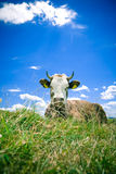Cow resting on hill Royalty Free Stock Images