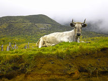 Cow resting in the landscape. Of Pico Island . The green vegetation contrasts with the brown earth and the distant fog Royalty Free Stock Image