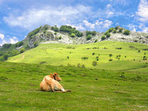 Cow resting in meadows Stock Images