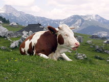 Cow resting on the mountain grass Stock Photo