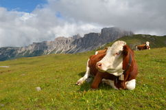 Cow resting mountain pasture Stock Photo
