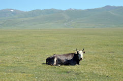 Cow is resting on a mountain pasture. Cow lying on green grass on a mountain pasture, Kyrgyzstan Stock Photography