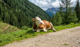 Cow resting in the mountains along the path. Rabbi valley, Trentino Alto Adige, Italy Stock Images