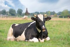 Cow resting Stock Photo