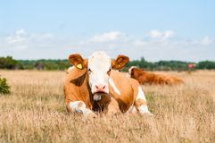 Cow resting in the pasture looking into the camera royalty free stock images