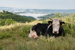 Cow resting in the pasture Stock Photography