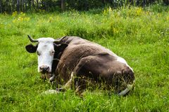 Cow in resting positin in the greem meadow.Styled stock photo with rural landscape in Romania stock photography