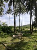 Cow resting in shade provided by coconut trees royalty free stock photo