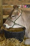 Cow resting in a stall at the county fair Royalty Free Stock Photography