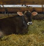 Cow resting in a stall at the county fair Stock Photos