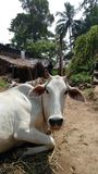 Cow resting on yard. A close up of a white cow resting on a yard Royalty Free Stock Photo