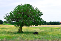 A cow rests in the summer sweat a tree in the shade. Summer Stock Image