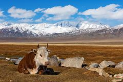 Cow rests on a vast pasture of Mongol Altai highland steppe. Mongolia royalty free stock image