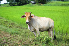 Cow in the rice field Royalty Free Stock Photo