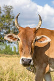 Cow in rice field Royalty Free Stock Photo