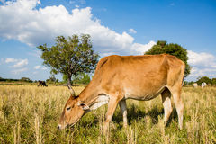 Cow in rice field Stock Photography