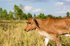 Cow in rice field Royalty Free Stock Images