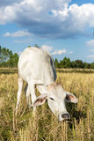 Cow in rice field Stock Photo