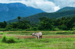 Cow in rice field. And hill background Royalty Free Stock Photos