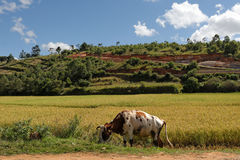 Cow in a rice field. By a sunny day Royalty Free Stock Photos