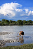 A cow in river Royalty Free Stock Photography
