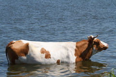 Cow in the river Stock Photos