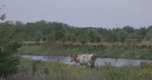 Cow by the river stock footage