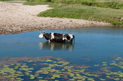 Cow in the river Stock Image