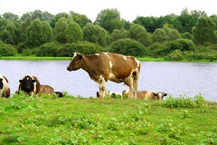 Cow on the riverside. Cow on the green meadow at the river Stock Image