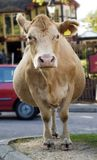 Cow in the road. Royalty Free Stock Photography