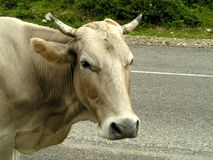 Cow on a road.  royalty free stock photography