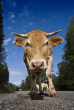 Cow on the road. Cattle of milky cows walking in a road. The picture is taken in the mountains of Navarra, in Spain Royalty Free Stock Images