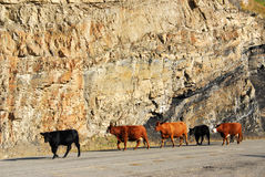 Cow on road Royalty Free Stock Images