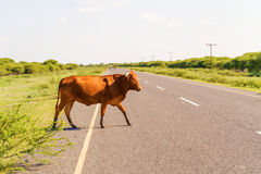 Cow on the road in Botswana. The cow is walking on the road near Maun in Botswana Stock Photo