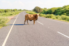 Cow on the road in Botswana. Royalty Free Stock Photo
