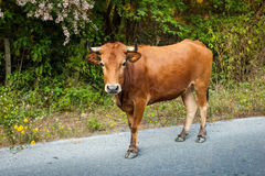 Cow on the road. Brown Cow on the road Stock Photos
