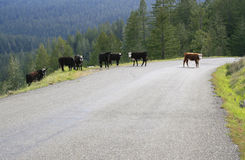 Cow Road Crossing Royalty Free Stock Image