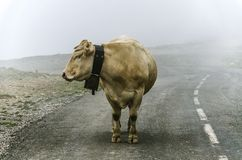 Cow on the road Stock Photo