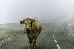 Cow on the road Royalty Free Stock Photography