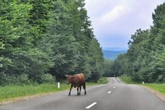 Cow on the road Royalty Free Stock Image