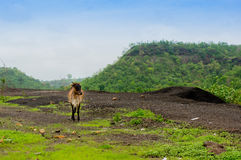 Cow roaming around in the middle of mountains Stock Images