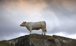 Cow on a rock in normandy Stock Images