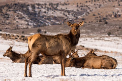 Cow Rocky Mountain Elk. Herd of rocky mountain elk (Cervus elaphus) in the snow at Hardware Ranch. Cow elk weigh in between 450 and 550 pounds royalty free stock photography