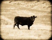 cow rocznika Zdjęcia Royalty Free