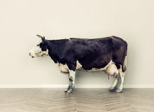 The cow in a room Royalty Free Stock Photography