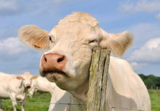 Cow rubbing on a pole Royalty Free Stock Photos