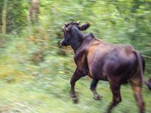 A running cow. A cow running from an approaching train Royalty Free Stock Images